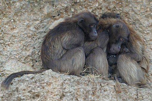 Dschelada Primate, Monkey, Group, Cold, Winter, Animals