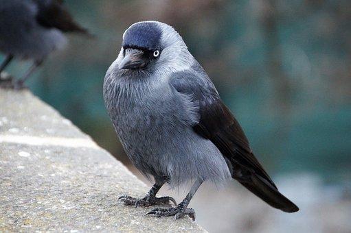 Jackdaw, Bird, Feathers Beak, Sitting, Curious, Eye