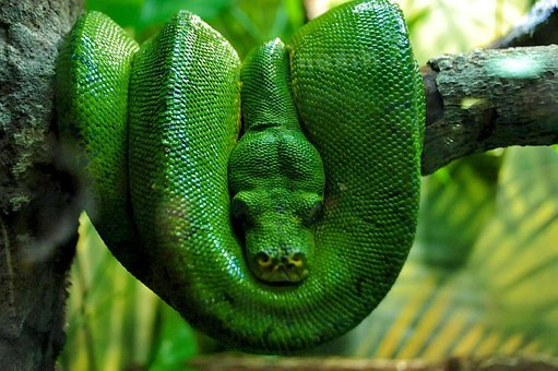 Green Boa, Boa, Nature, Reptile, Snake, Serpent
