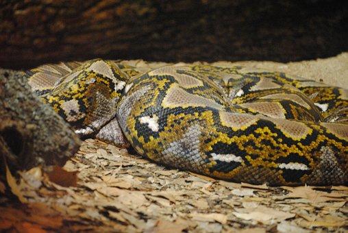 Snake, Anaconda, Reptile, Animal, Wild, Python, Green