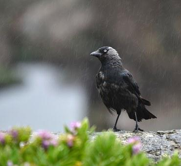 Jackdaw, Wet, Rain, Bird, Feather