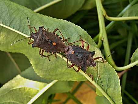 Mating Bugs, Peach Leaves, Macro, Peaches, Insect