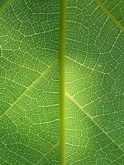 Leaf, Plant Background, Ramifications