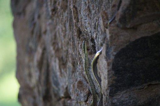 Snake, Reptile, Animal, Climbing, Wildlife, Rock