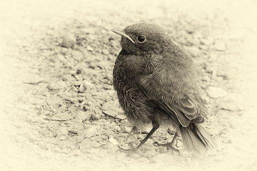 Vergilbtvogel, Plumage, Black And White, Retro Look