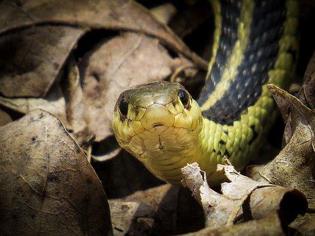 Common Garter Snake, Snake, Reptile, Garter, Animal
