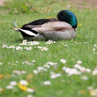 Duck, Mallard, Grass, Flowers, Bird, Waterfowl, Male