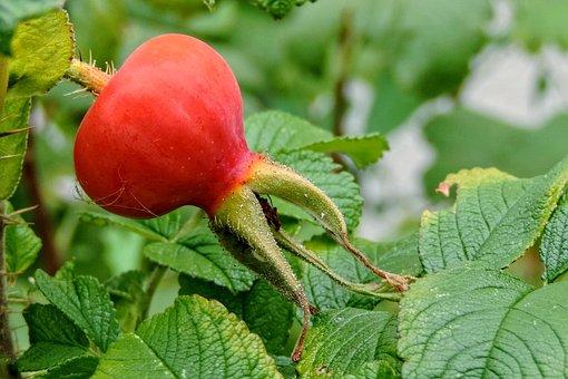 Potato Rose, Wild Rose, Rosa Rugosa, Roses
