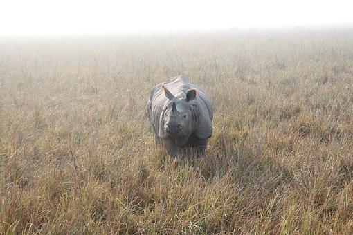 Rhino, Indian Rhino, Rhinoceros, Animal, Nature