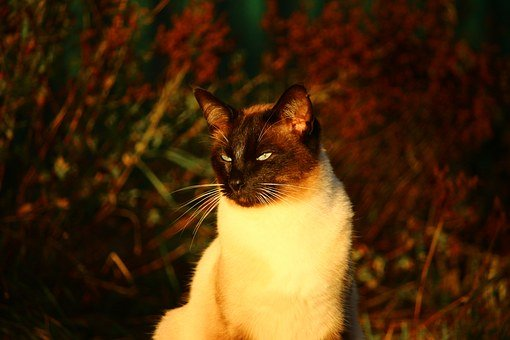 Cat, Autumn, Siamese Cat, Cat Night Light, Fall Foliage