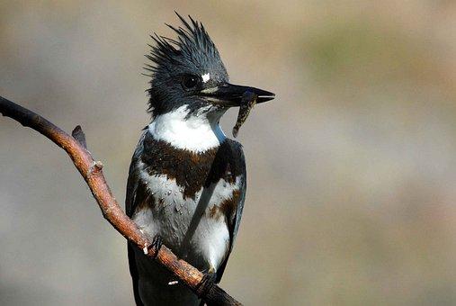 Female, Juvenile, Bird, Kingfisher, Belted, Birds