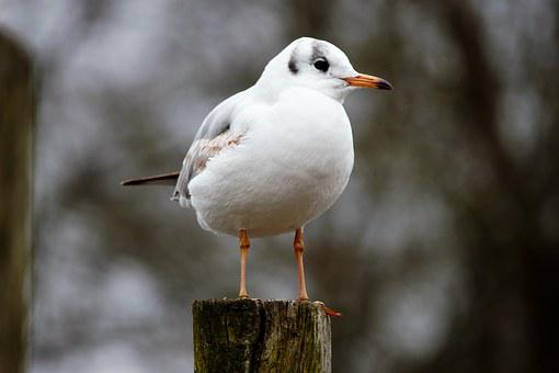 Bird, Black-headed Gull, Chroicocephalus Ridibundus