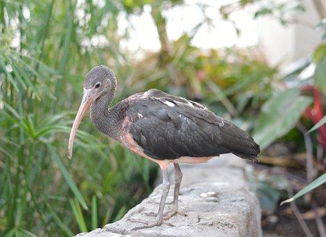 Juvenile Scarlet Ibis, Bird, Nature, Wildlife, Exotic