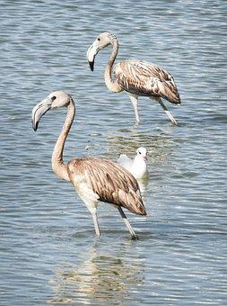 Flemish Juvenile Pink, Bird, Feathers, Neck, Beak