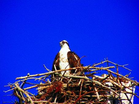 Estero Island, Osprey, Nest, Birds, Close-up, Florida