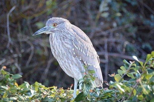 Black-crowned Night-heron, Heron, Nature, Juve