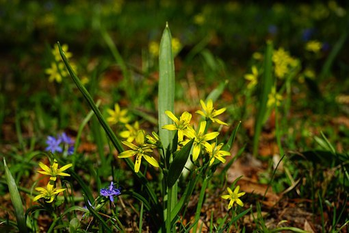 Forest - Yellow Star, Gagea Lutea, Blossom, Bloom