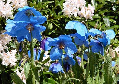 Poppies, Blue, Meconopsis, Stem, Poppy, Flower, Nature