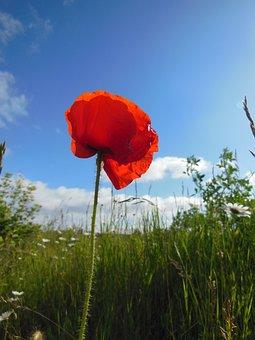 Papaver Rhoeas, Corn Poppy, Red, Wild, Blooming Plants