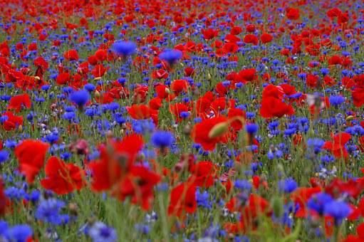 Field Of Poppies, Cornflowers, Summer, Flowers, Blue