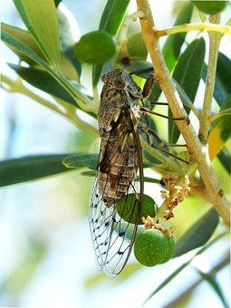 Cicada, Insect, Summer Cri-cri, Detail, I Cicádido