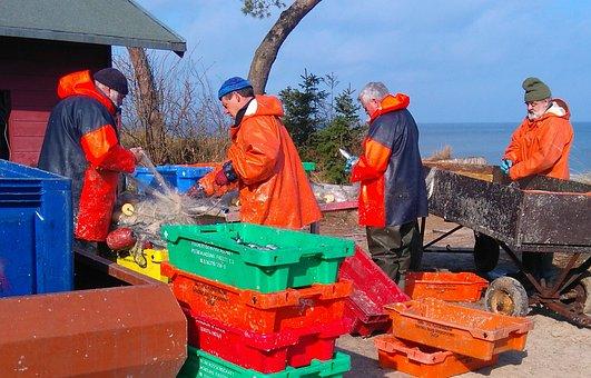 Fisherman, Herring Fishing, Fish From The Nets Peel