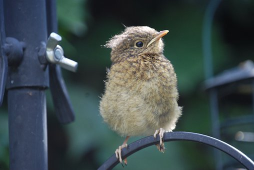 Robin, Fledgling, Bird, Chick, Perched, Close-up