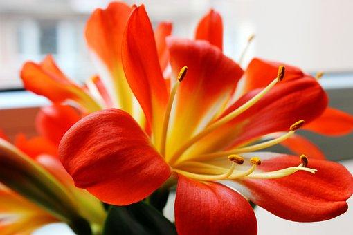 Clivia Miniata, Flowers, Petal