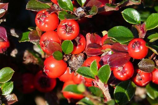 Cotoneaster, Fruits, Red, Roses, Evergreen