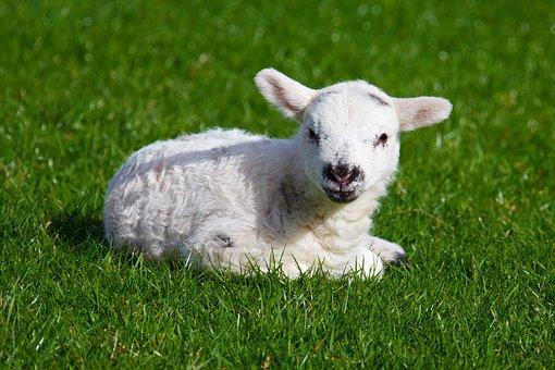 Animal, Baby, Cute, Farm, Field, Grass, Green, Infant