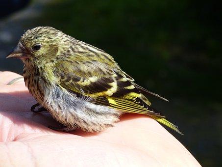 Siskin, Bird, Juvenile, Hand, Perched, Uk, Wildlife