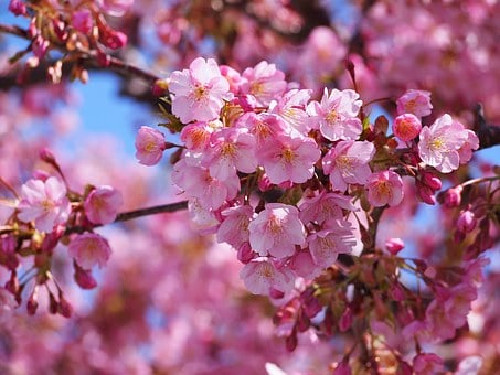 Kawazu, Cherry Blossoms, Izu, Izu Peninsula, Pink