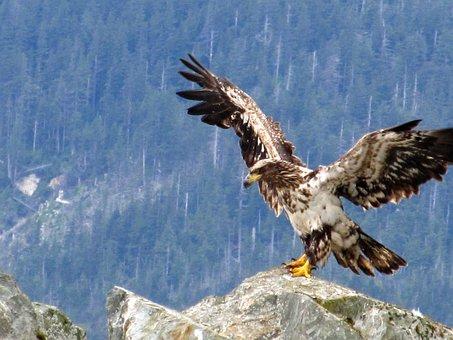 Eagle, Bald, Juvenile, Young, Bird, Nature, Wildlife