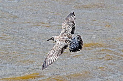 Yellow-legged Gull, Juvenile Yellow-legged Gull