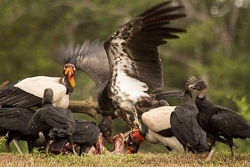Nature, Predatory Birds, King Vulture