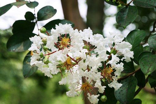Crape Myrtle Trees, Lagerstroemia Indica
