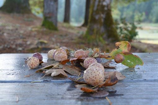 Oak, Oregon, Hagg Lake, Gall-wasp, Leaf, Wasp