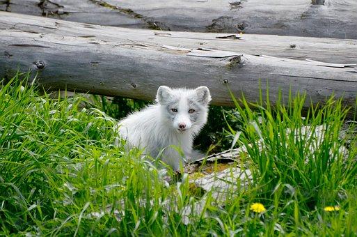 Arctic, Fox, Animal, Mammal, L Wild, Wilderness, Summer