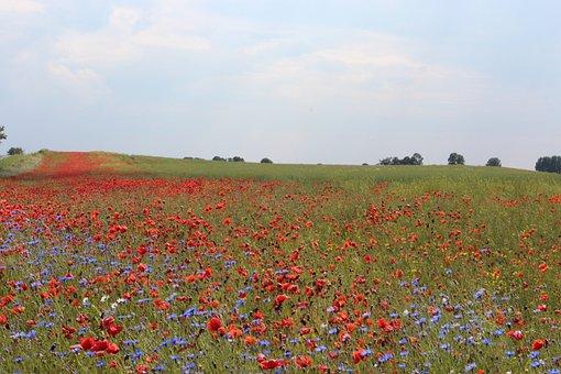 Poppy, Cornflowers, Nature, Pointed Flower, Field