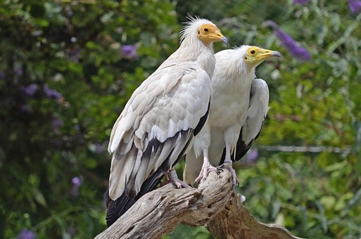 Egyptian Vulture, Pair, Raptors, Bird, Nature