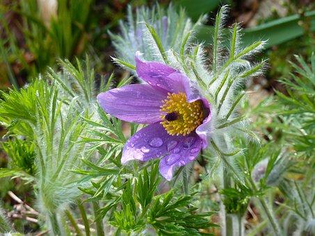 Pasqueflower, Blossom, Bloom, Blue, Pasque Flower