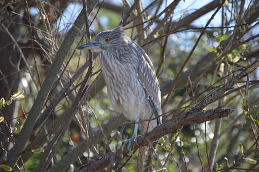 Black-crowned Night-heron, Heron, Avian, Bird, Perched