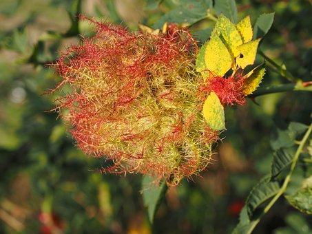 Plant Galle, Sleeping Rose Apple, Sleeping Apple