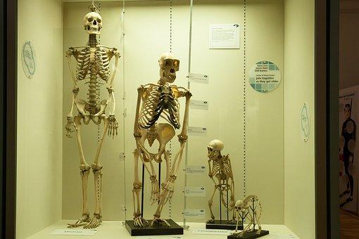 Skeleton, Comparison, Human, Monkey, Primates