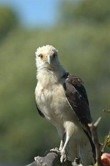 Osprey, Llanos, Venezuela, Raptor, Animal