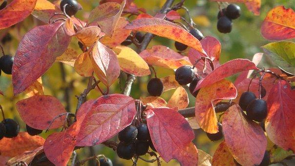 Cotoneaster, Garden, Gardening, Shrub, Autumn, Flora
