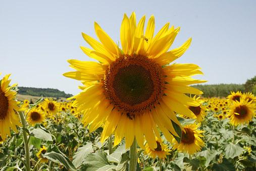 Sunflower, Insect, Landscape, Mark, Summer, Italy