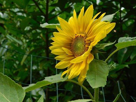 Sunflower, Private Garden, Summer