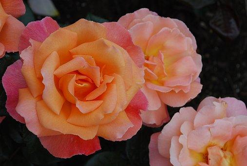 Bucharest Gardens, Roses, Victoria, Spring, Nature