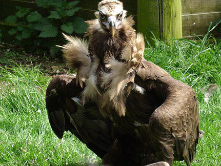 Vulture, Feathers, Feather Bower